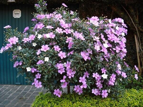 Manacá da serra florida