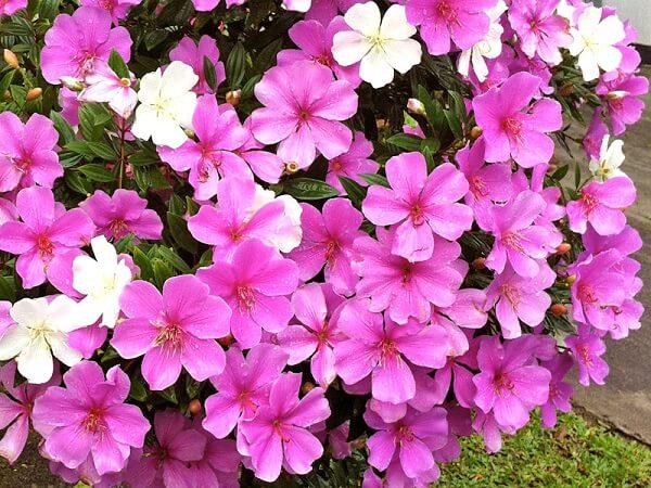 Manacá da serra lilás e branco