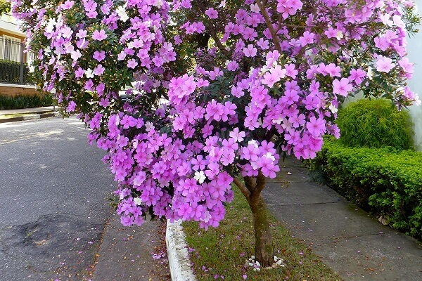 Manacá de serra flores