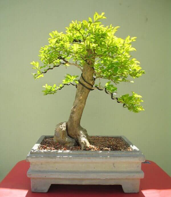 Pingo de ouro é conduzido como bonsai