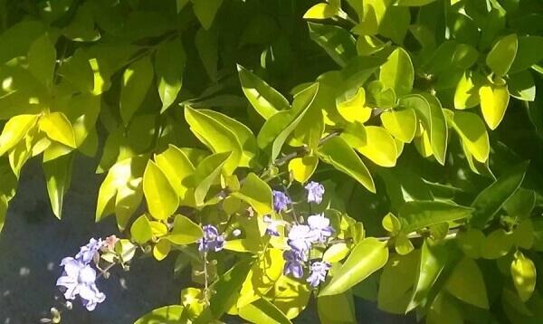 Pingo de ouro é um arbusto colorido