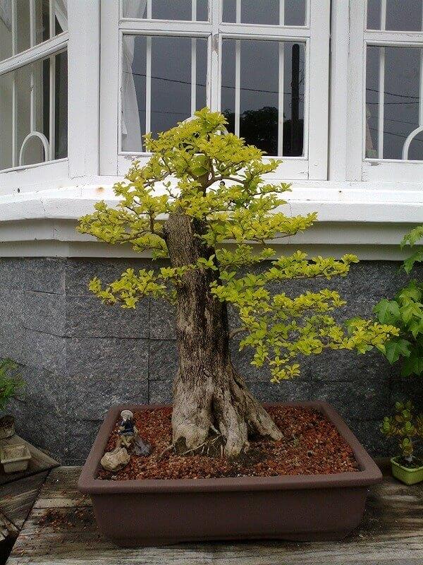 Pingo de ouro bonsai
