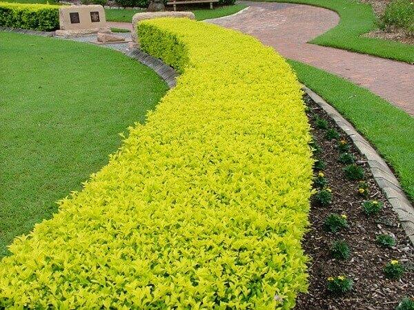 Pingo de ouro tem folhas amarelo-limão