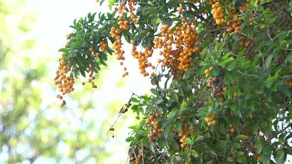 Pingo de ouro tem frutos dourados