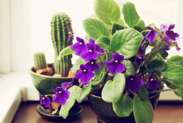 Plantas para banheiro Violetas