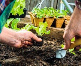 Como plantar alface de maneira simples e prática
