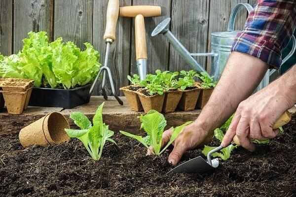 Como plantar alface dicas