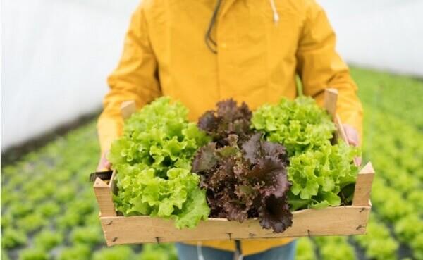 Como plantar alface em canteiro