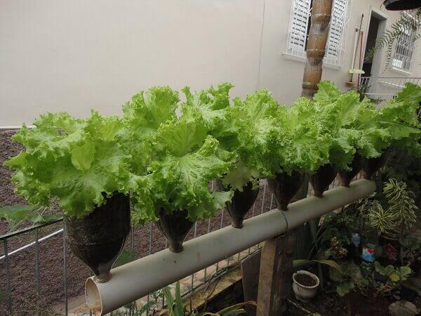 Como plantar alface em garrafa pet