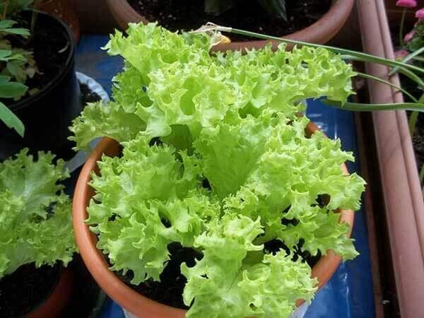 Como plantar alface em vaso pequeno
