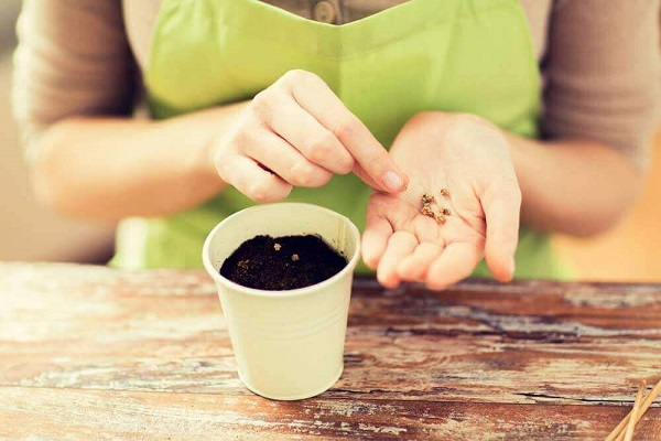 Como plantar alface em vasos