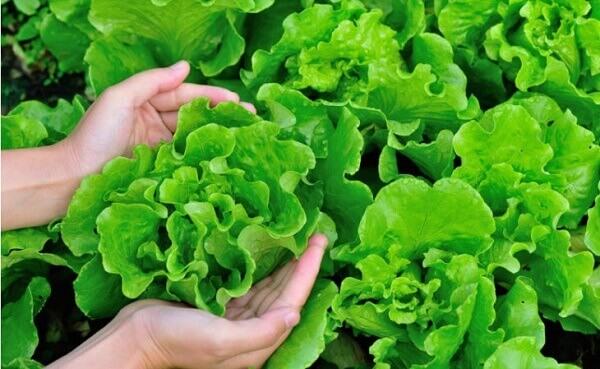 Como plantar alface facilmente em casa