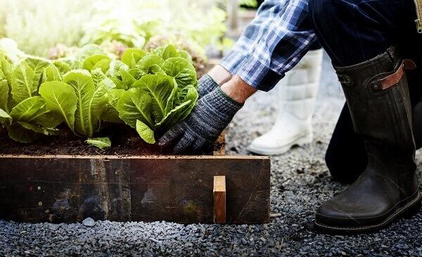 Como plantar alface no jardim