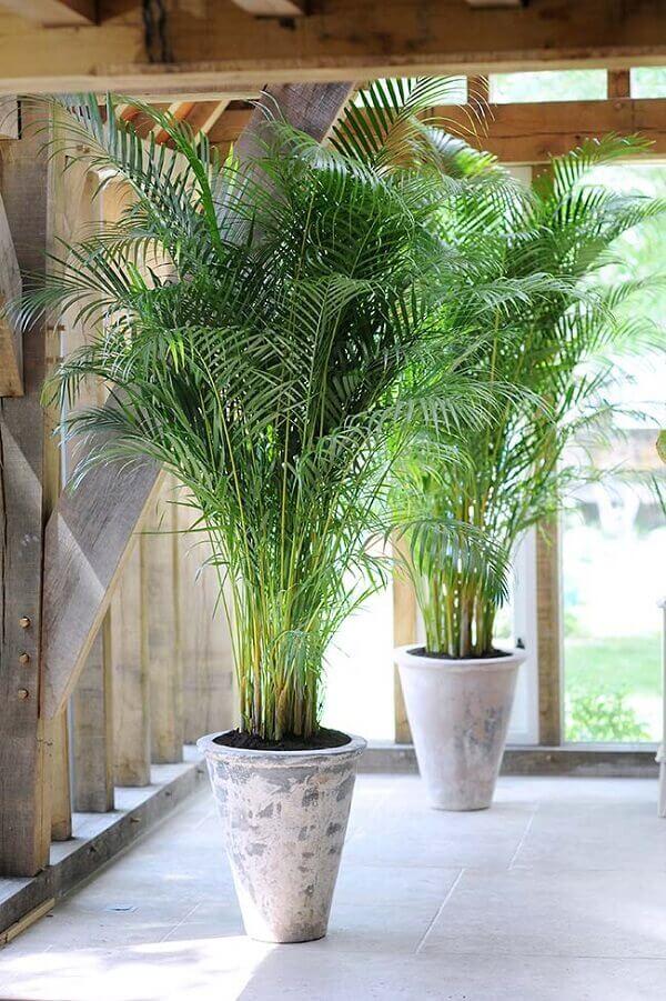 Tipos de palmeira Areca