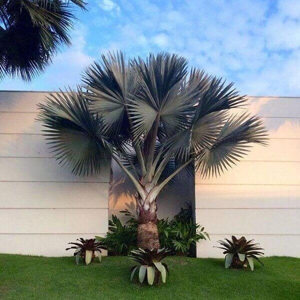 Tipos de palmeira azul no jardim