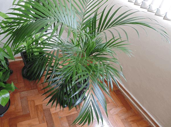 Tipos de palmeiras Areca Volumosa cultivada em vaso