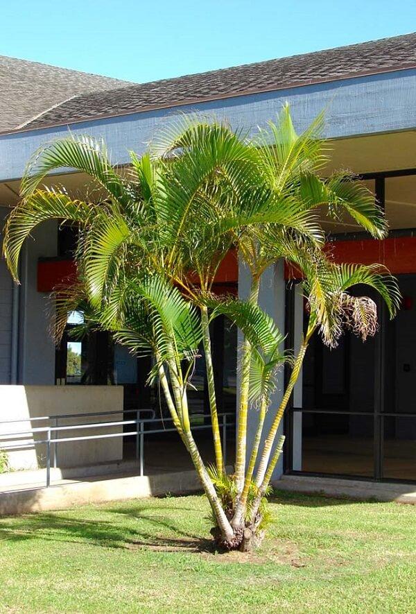 Tipos de palmeiras areca apreciam o sol
