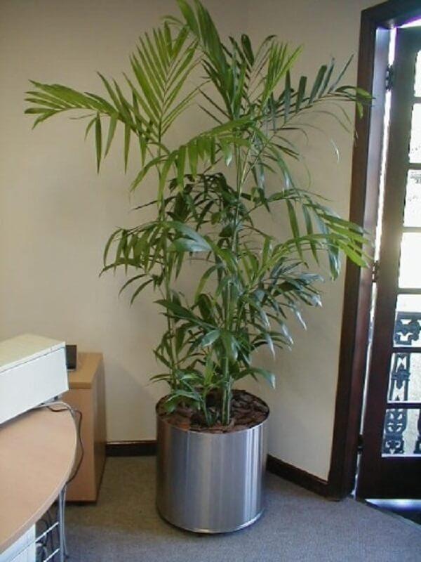 Tipos de palmeiras chamaedorea em vaso