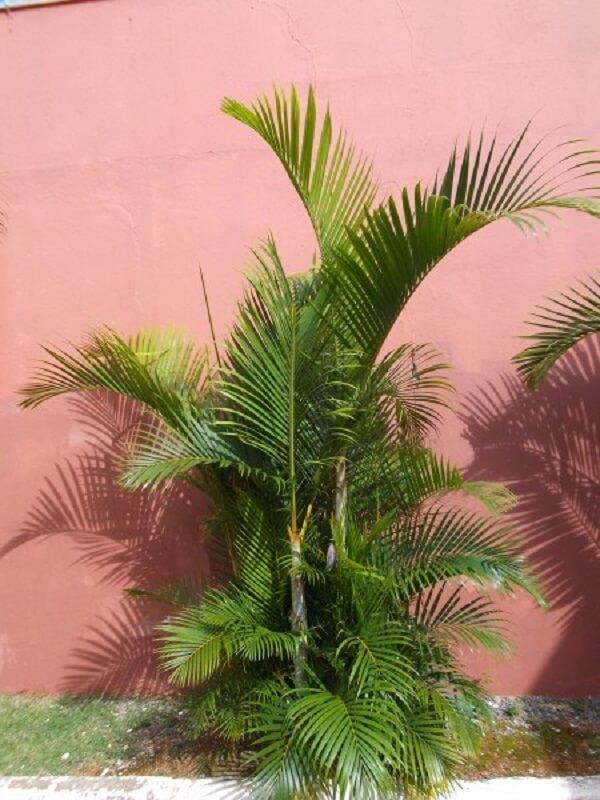 Tipos de palmeiras de pequeno porte