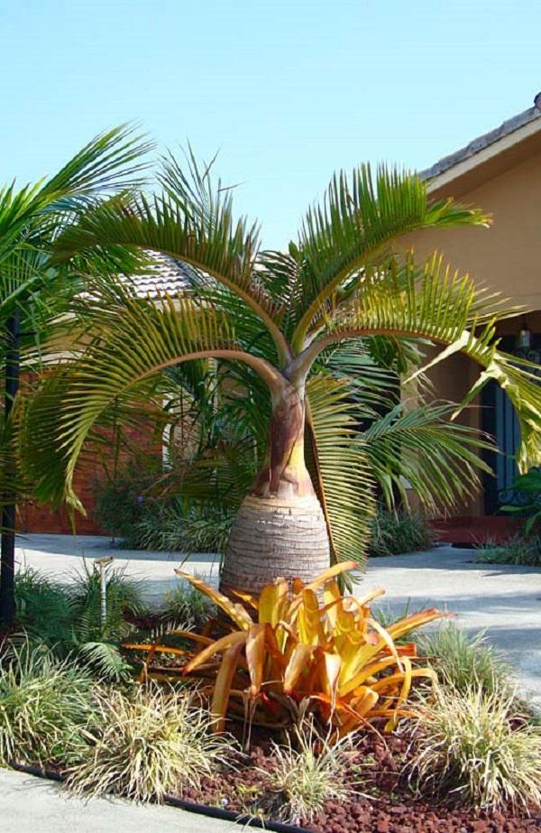Tipos de palmeiras garrafas tem folhas marcantes