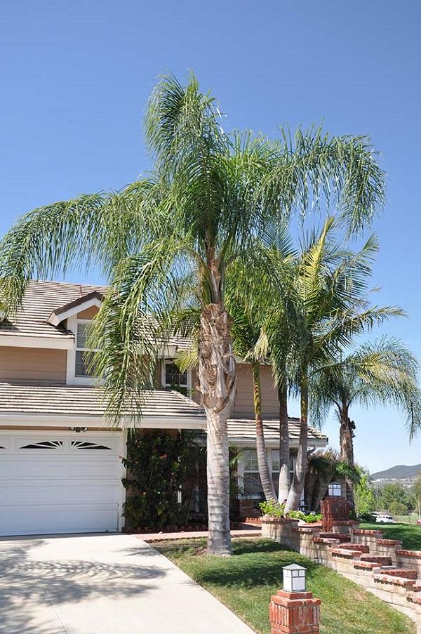 Tipos de palmeiras real na fachada de casa