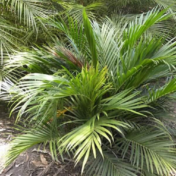 tipos de palmeiras cascata