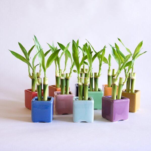Arranjos formados por bambu da sorte e cultivados em vasos coloridos