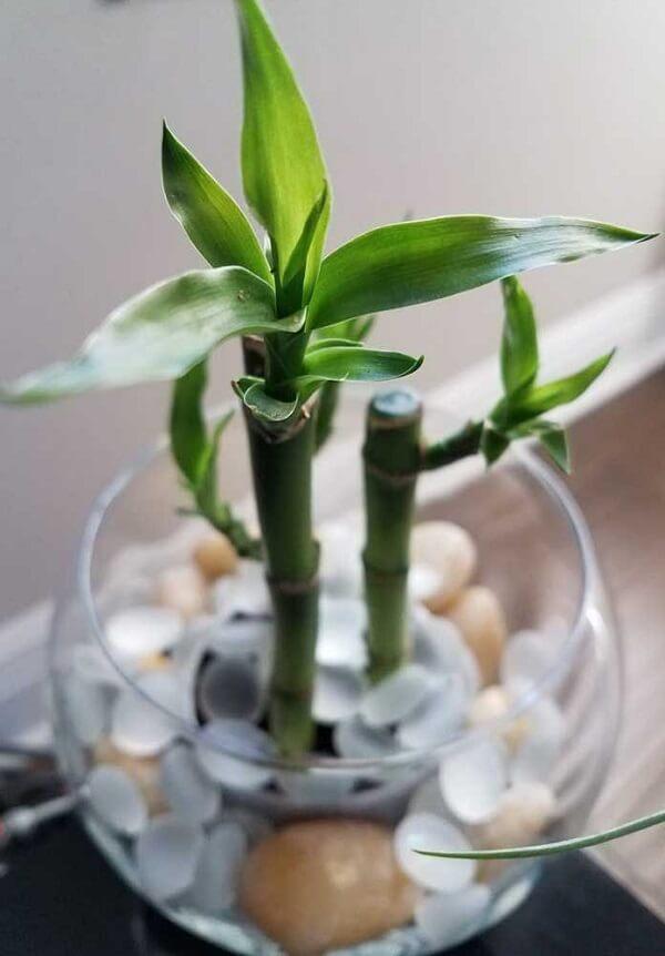 Bambu da sorte cultivado em água