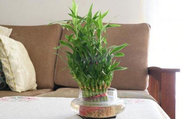 Bambu da sorte decora o ambiente da sala de estar