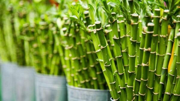 Bambu da sorte atrai prosperidade e boas energias