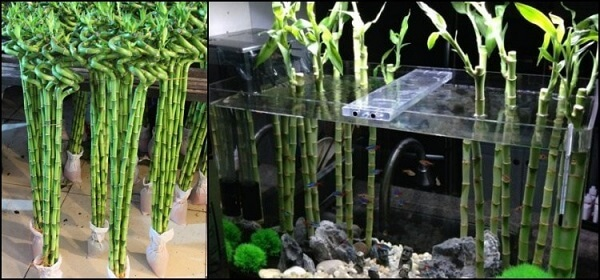 Bambu da sorte posicionado dentro do aquário