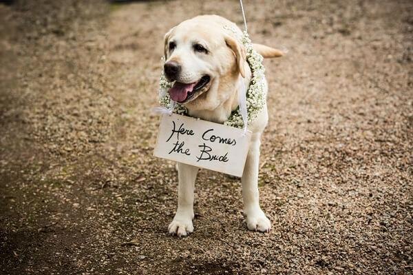 Cachorro segurando a plaquinha de casamento anunciando a entrada da noiva
