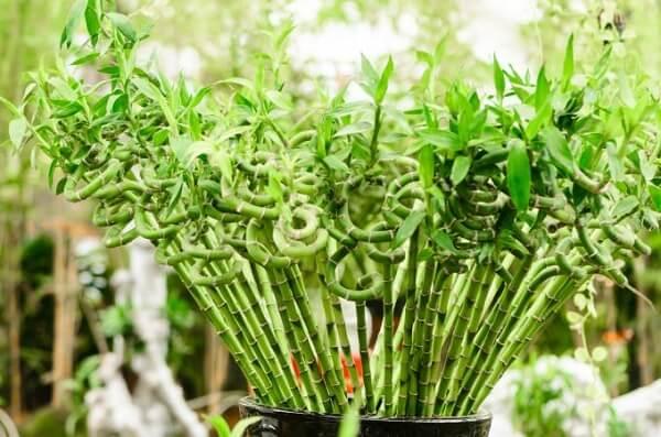 Decore o ambiente com bambu da sorte retorcido nas pontas