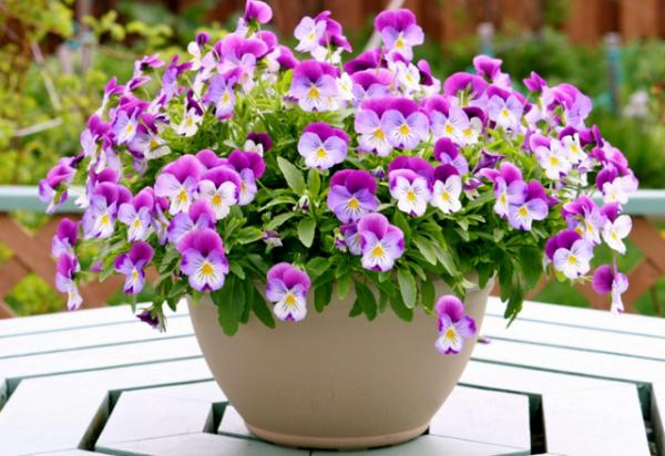 Amor perfeito Flores da primavera