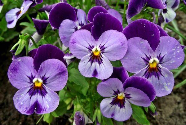 Flores da primavera amor perfeito