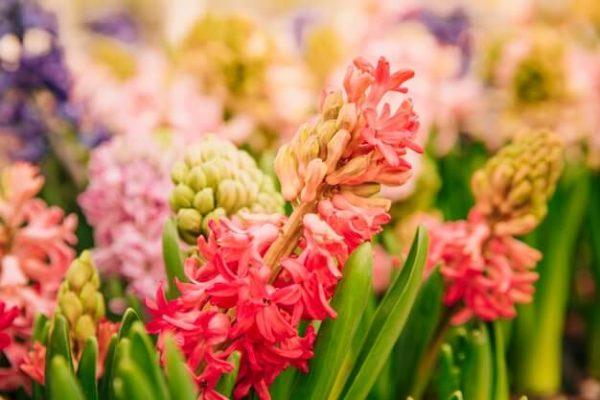 Flores da primavera Jacinto