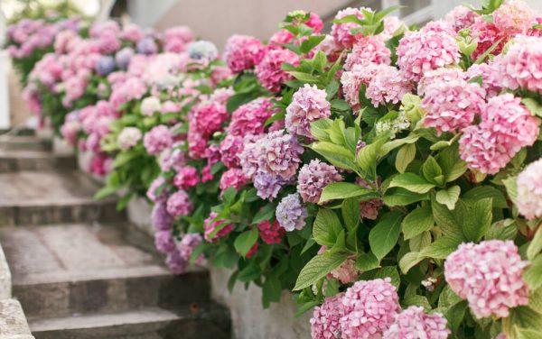 Flores da primavera: Hortênsias