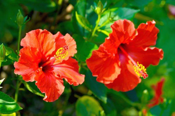 Flores da primavera Flor Hibisco