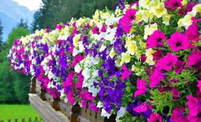 As cores vibrantes e chamativas das flores de petúnia chamam a atenção