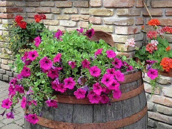 Flor de petúnia cultivada em cima de um barril de madeira