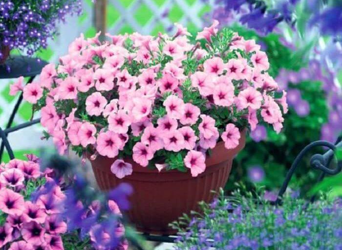 Flor de petúnia em tonalidade rosa claro cultivada em vaso