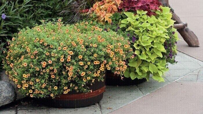 Flores de mini petúnia cultivadas em vaso no chão