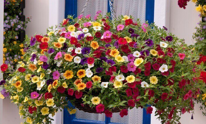 Flores de mini petúnia cultivadas em vasos suspenso