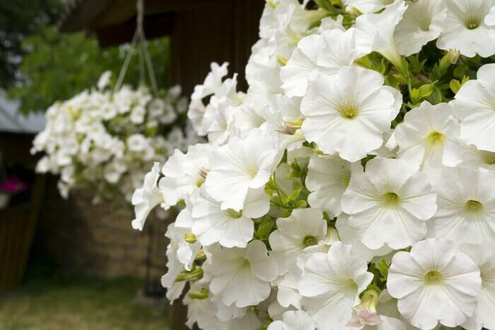 Flores de petúnia branca encanta a decoração desse ambiente