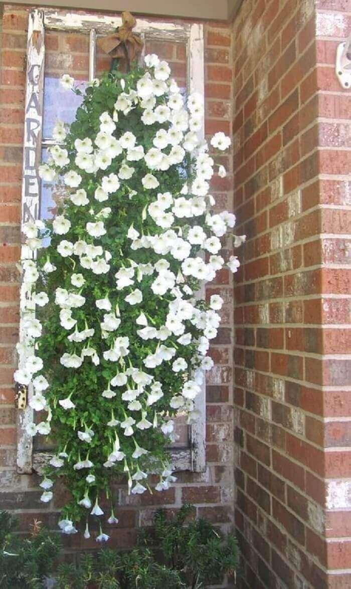Flores de petúnia branca sendo cultivadas em uma estrutura de janela antiga