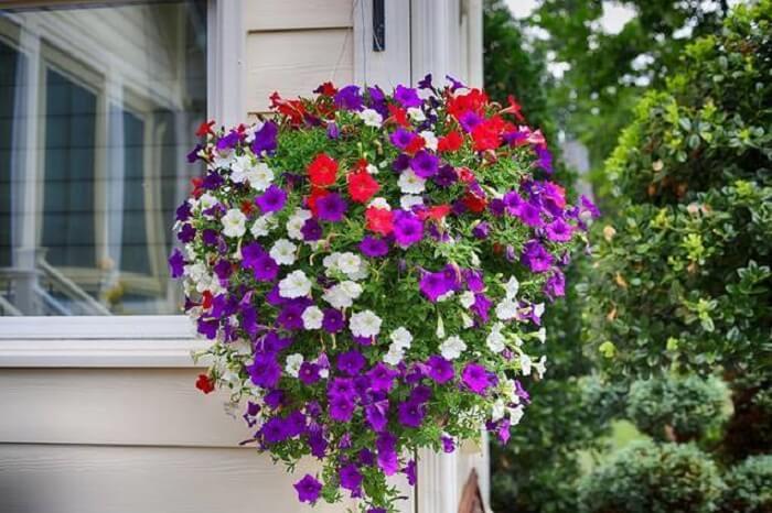 Flores de petúnia com cores mescladas