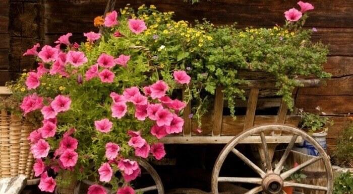 Flores de petúnia cultivadas em um carrinho de mão de madeira