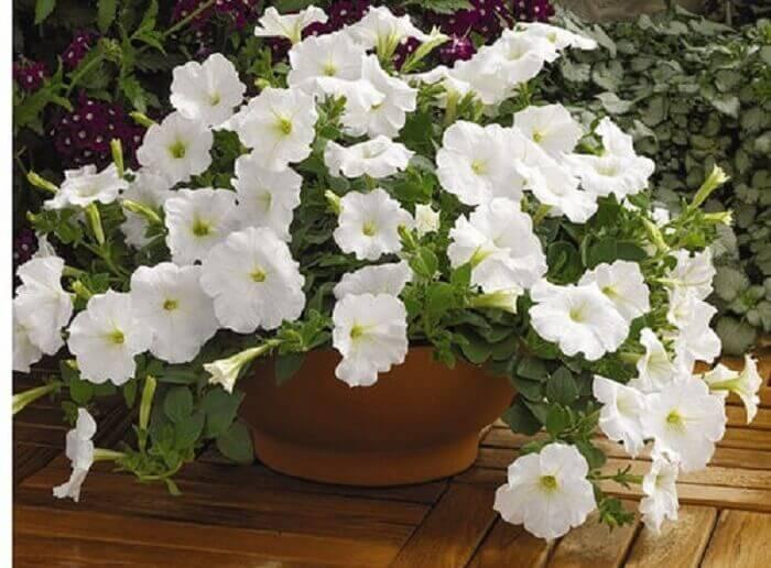 Petúnia branca cultivada em vaso de barro