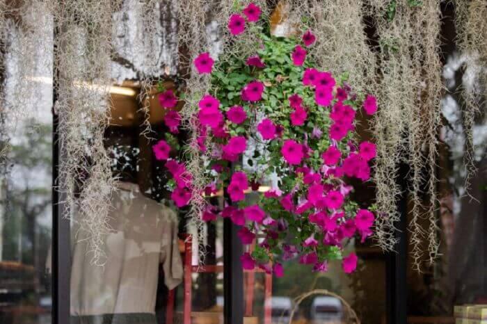 Petúnia com cor vibrante pendurada encanta a decoração do ambiente