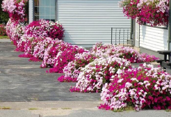 Petúnia cultivada em lindos vasos dispersos pela calçada